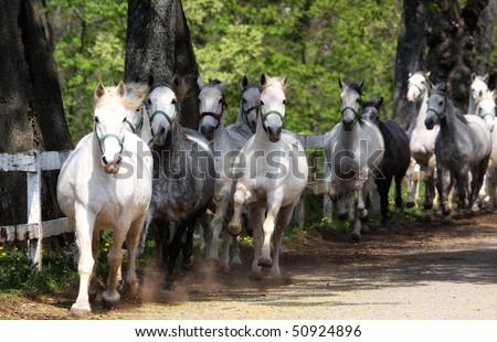 Lipizzan horses running - stock photo