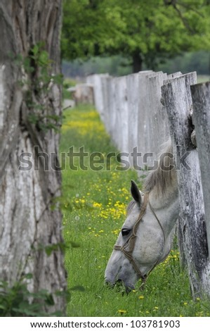 Lipizzaner horse shoved head through the wooden fence and graze - stock photo