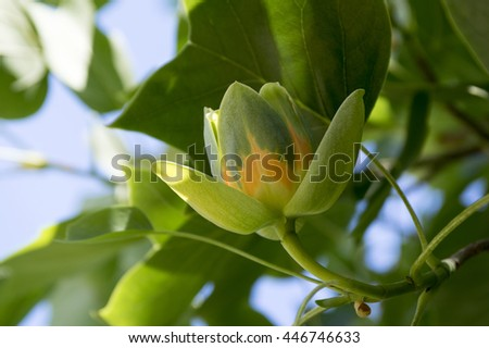 Liriodendron tulipifera, known as the tulip tree, American tulip tree, tuliptree, tulip poplar, whitewood, fiddle-tree, and yellow poplar - stock photo