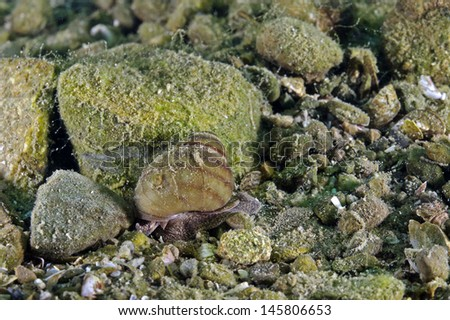 Lister`s river snail, Spitze Sumpfdeckelschnecke (Viviparus contectus) - stock photo