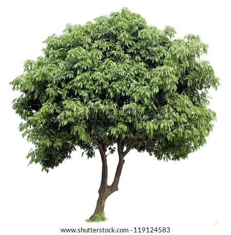 Litchi tree - stock photo