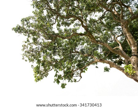 litchi tree isolated on white - stock photo
