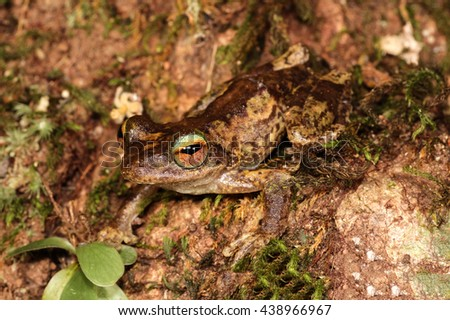 Litoria myola is a species of frog in the Hylidae family. It is endemic to Australia. - stock photo