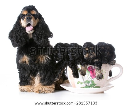 litter of american cocker spaniel puppies with their mother - 6 weeks old - stock photo