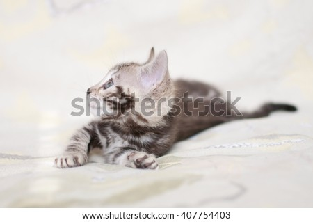 Litter of Bengal kittens. Pedigreed domestic cat. One little marbled kitten. Feline face close up. Bengal kitten two months old. Playing scared animal. - stock photo