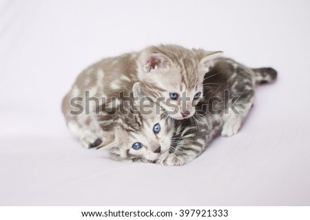 Litter of Bengal kittens. Pedigreed domestic cats. Two little marbled kittens. Feline faces close up. Bengal kittens one month old. - stock photo