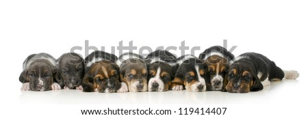 litter of puppies - eight basset hound puppies laying down lined up in a row - 3 weeks old - stock photo