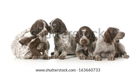 litter of puppies - five german shorthaired pointer puppies playing - 7 weeks old - stock photo