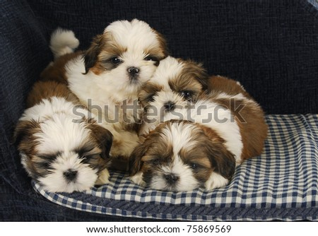 litter of puppies - four shih tzu puppies laying on dog bed - stock photo