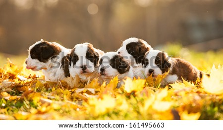 Litter of saint bernard puppies in autumn - stock photo