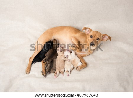 Litter of Small Breed Newborn Puppies Nursing on Their Mom - stock photo