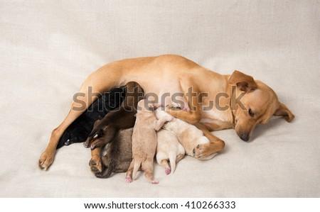 Litter of Small Breed Newborn Puppies Nursing on Their Mom - stock photo