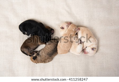 Litter of Small Breed Puppies - stock photo