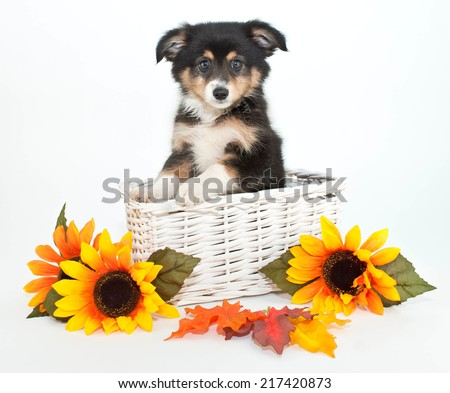 Little Aussie puppy in a basket with yellow sunflowers around her, on a white background. - stock photo