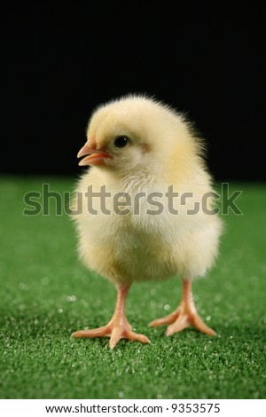 Little baby chicken, studio shot over black background on green carpet imitating a green grass. - stock photo