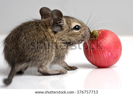little baby degu with red radish closeup view on neutral background - stock photo