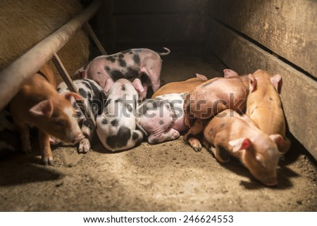 Little baby pigs. - stock photo