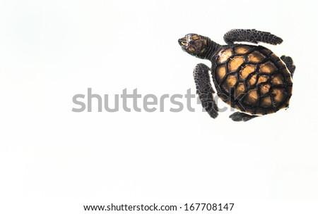 Little baby Sea turtles in nursery - stock photo