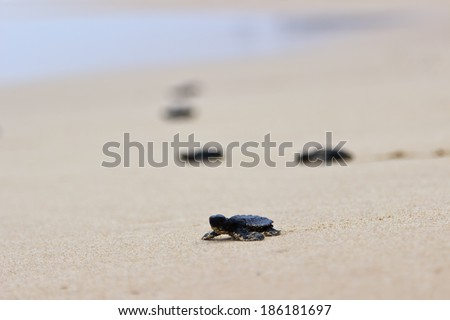 Little baby turtles on their free way to the sea - stock photo