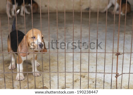 Little Beagle dog in the cage - stock photo