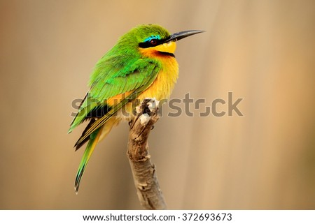 Little Bee-eater, Merops pusillus, detail of exotic green and yellow african bird with red eye in the nature habitat, Botswana, Africa - stock photo