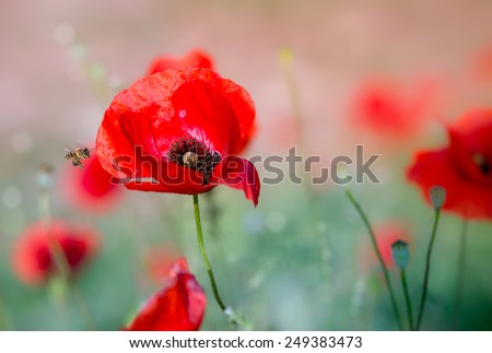 Little bee,poppy,sunshine,summer - stock photo