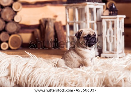 Little beige puppy pug dog laying on the furs against the background of lanterns - stock photo