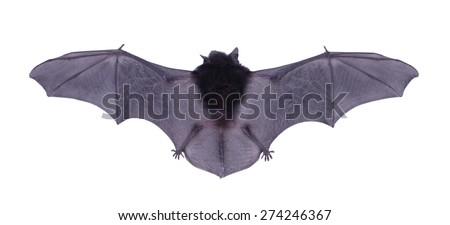 Little black Bat isolated on white background.  - stock photo