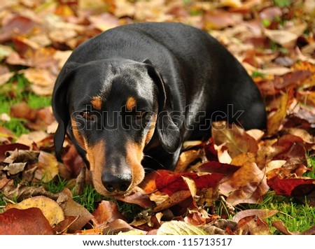 Little black dachshund on autumn garden with leaves - stock photo