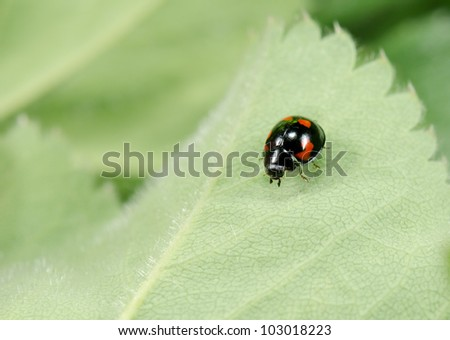 little black ladybird - stock photo