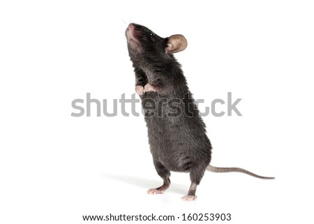 Little Black Mouse on a White Background - stock photo