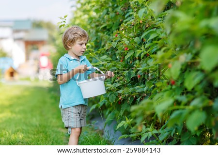 Little blond kid boy having fun with picking berries on raspberry farm on hot summer day, outdoors. Healthy snack for children in summer. Kids helping in garden. - stock photo