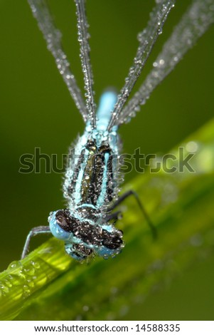 Little blue dragonfly with dewdrops - stock photo