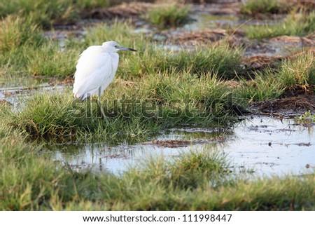 little blue heron - stock photo