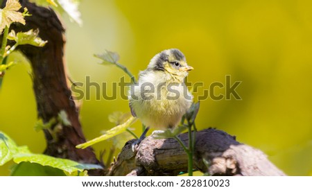 Little bluetit on a branche - stock photo