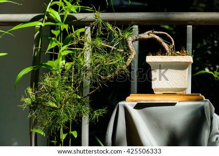 Little bonsai tree - stock photo