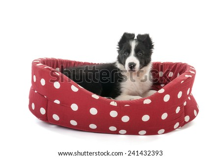 Little Border Collie pup in  red basket isolated over white background - stock photo