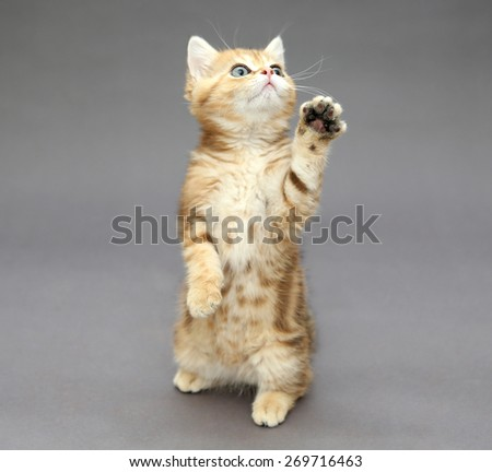 Little British kitten marble colors  playing sitting on its hind legs - stock photo