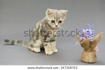 Little British sad kitten marble colors  and flower on a gray backgroun - stock photo
