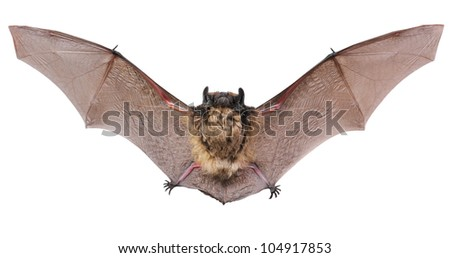 Little brown Bat - stock photo