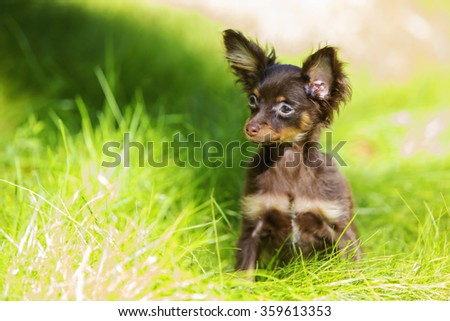 Little brown-colored terrier playing in the grass - stock photo