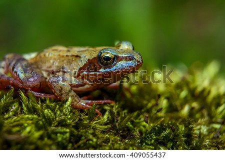 Little brown frog in green moss closeup photography - stock photo