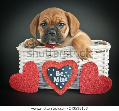 Little Bulldog puppy in a basket with hearts around her on a black background. - stock photo