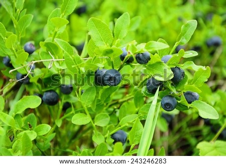 Little bush of ripe of wild blueberry - stock photo