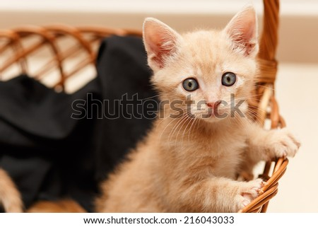 little cat in wicker basket with big blue eyes - stock photo