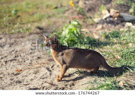little cat of abyssinian hunting over green grass background  - stock photo
