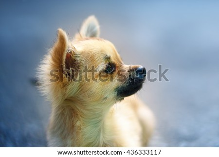 little charming adorable chihuahua puppy on blurred background. Profile portrait - stock photo