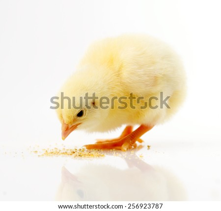 little chick - stock photo