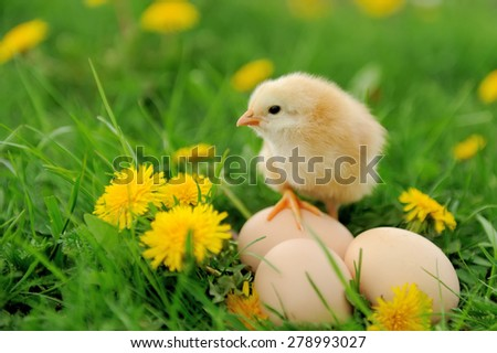 Little chicken and egg in the grass on a farm - stock photo
