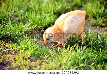 Little chicken eating grass - stock photo